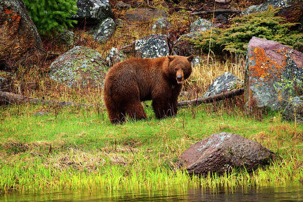 Photograph - Cinnamon Bear by Greg Norrell
