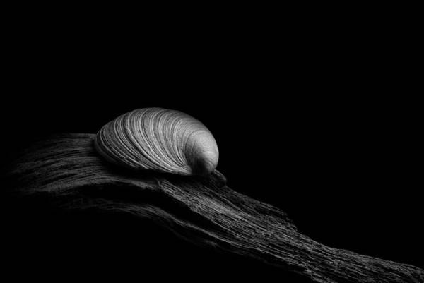 Photograph - Clam Shell On Driftwood by Richard Rizzo