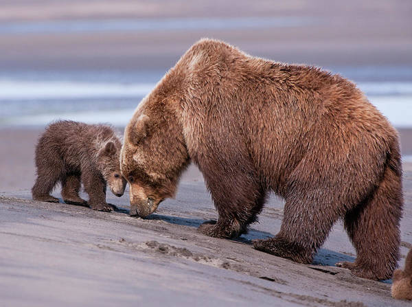 Clamming Lesson, Alaska Art Print