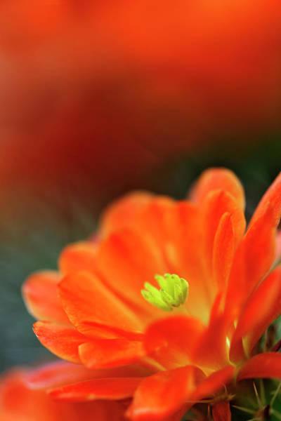 Wall Art - Photograph - Claret Cup Cactus Flower, Phoenix by Adam Jones