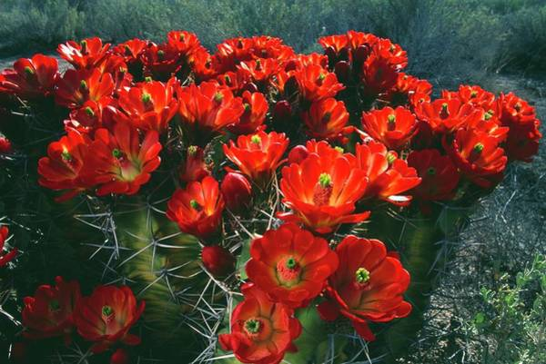 Coordination Wall Art - Photograph - Claret Cup Cactus Flowers Echinocereus by Altrendo Nature