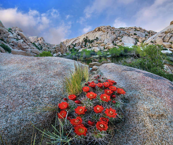 Photograph - Claret Cup Cactus Near Barker Pond by