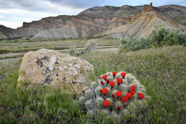 Photograph - Clarion Cactus Blooms In Book Cliffs by Ray Mathis