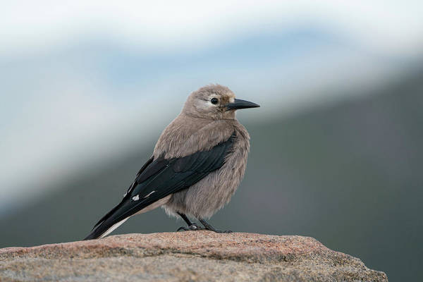 Photograph - Clarks Nutcracker In The Wild by Kyle Lee