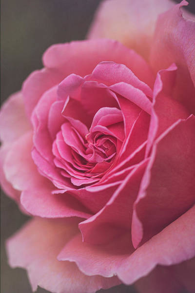 Photograph - Classic Beauty In Pink By Tl Wilson Photography by Teresa Wilson
