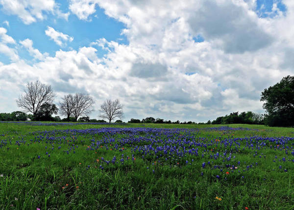 Photograph - Classic Texas Bluebonnet Field. Lupinus Texensis by Connie Fox