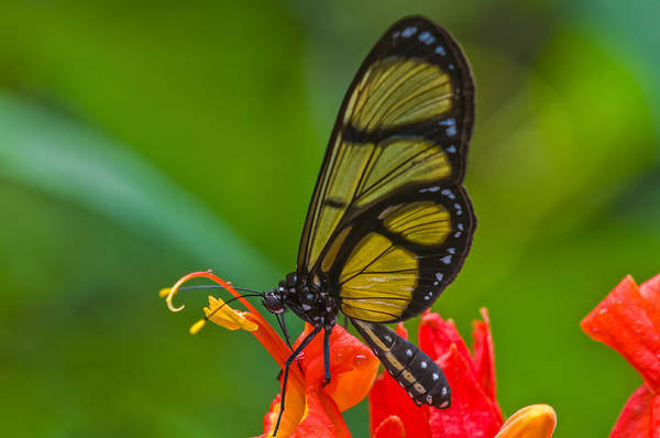 Wall Art - Photograph - Clearwing Butterfly by Michael Lustbader