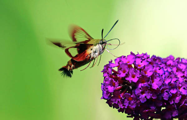 Wall Art - Photograph - Clearwing Moth And Buddleia by Debbie Oppermann