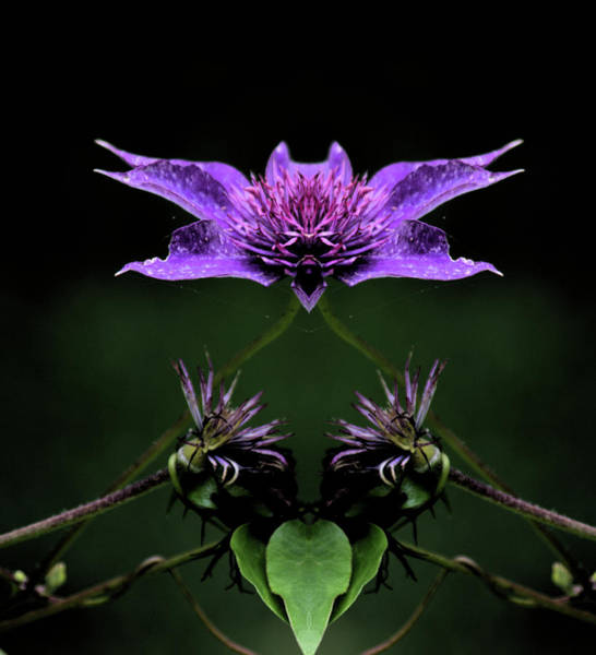 Photograph - Clematis 1 by Buddy Scott
