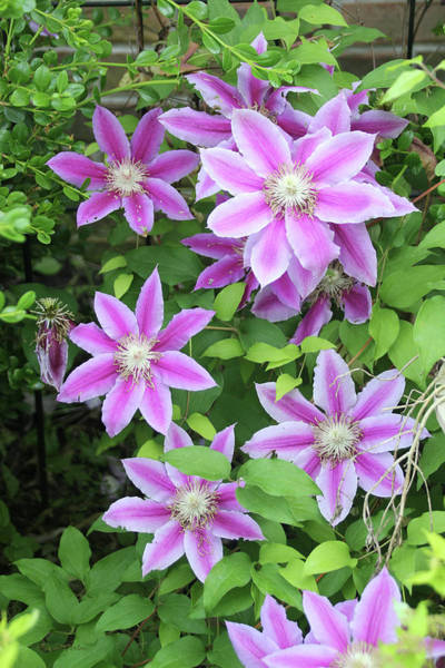 Photograph - Clematis 1552 by Ericamaxine Price