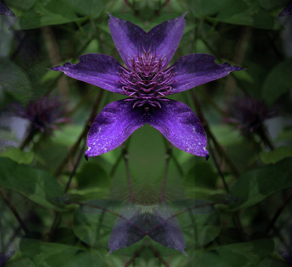 Photograph - Clematis 4 by Buddy Scott
