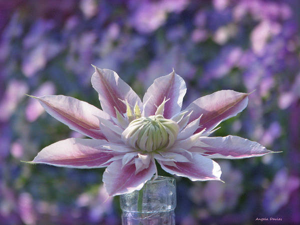 Wall Art - Photograph - Clematis Curtain Call by Angela Davies