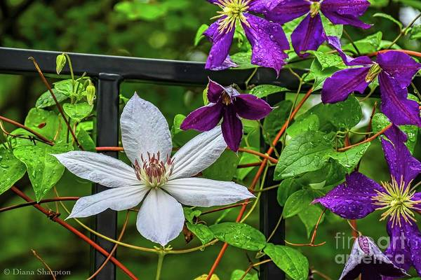 Photograph - Clematis by Diana Mary Sharpton