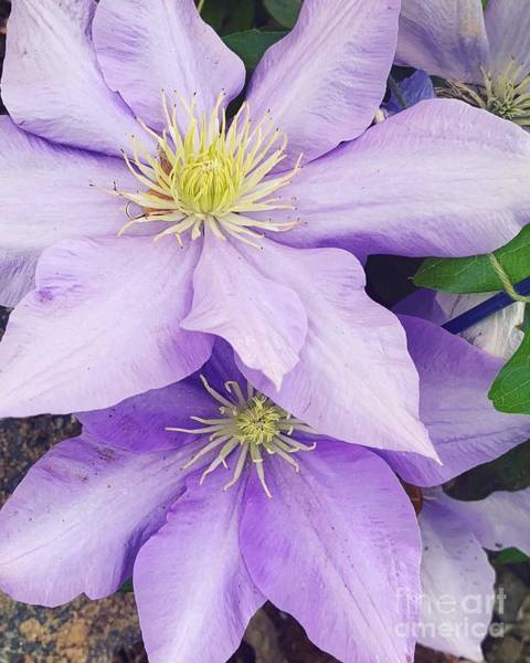 Wall Art - Photograph - Clematis  by HD Connelly