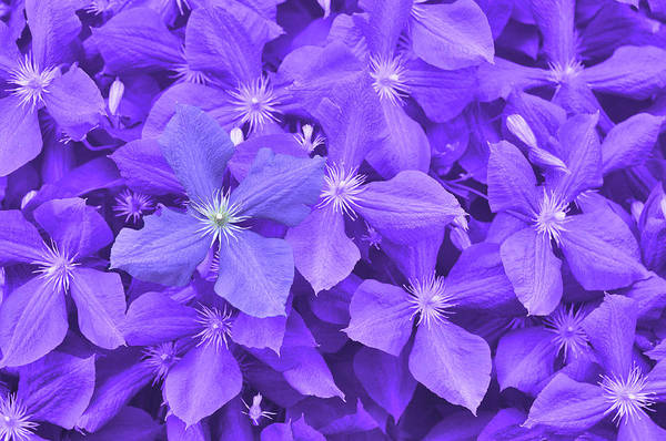 Photograph - Clematis by JAMART Photography