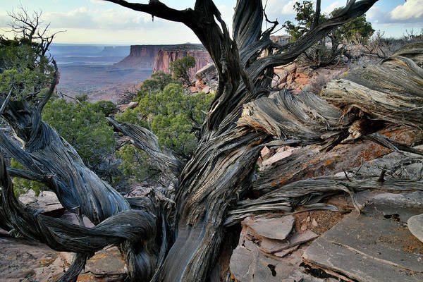 Photograph - Cliffside Juniper In Canyonlands Np by Ray Mathis