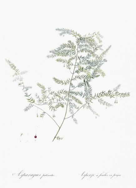 Wall Art - Painting - Climbing Asparagus Fern Illustration From Les Liliacees  1805  By Pierre Joseph Redoute   1759-1840  by Celestial Images