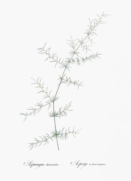 Wall Art - Painting - Climbing Asparagus Illustration From Les Liliacees  1805  By Pierre Joseph Redoute   1759-1840  Cele by Celestial Images