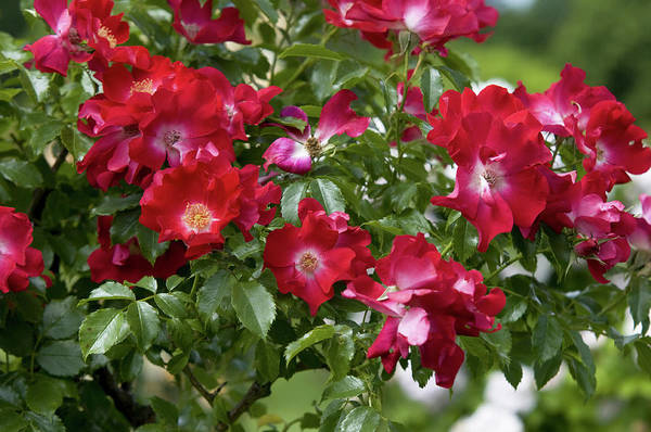Wall Art - Photograph - Climbing Crimson Rose Dortmund 5 by Jenny Rainbow