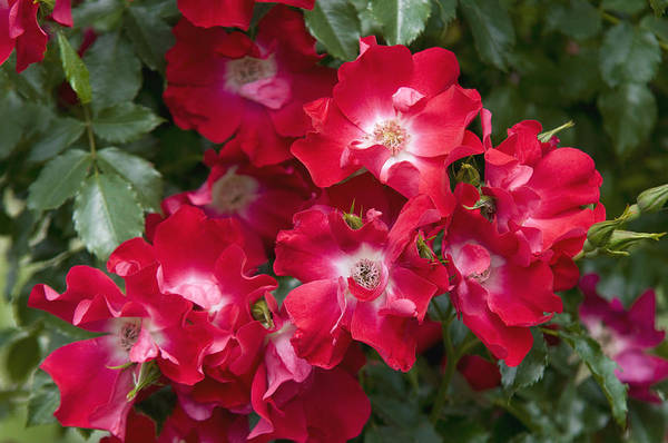 Wall Art - Photograph - Climbing Crimson Rose Dortmund 8 by Jenny Rainbow