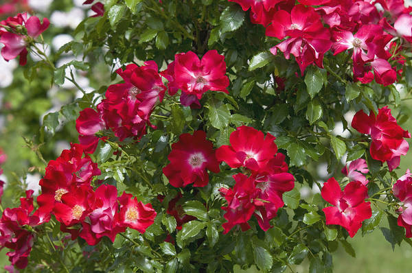 Wall Art - Photograph - Climbing Crimson Rose Dortmund by Jenny Rainbow