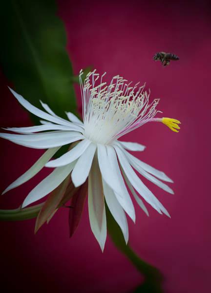Wall Art - Photograph -  Night Blooming Climbing Cactus  by Zina Stromberg