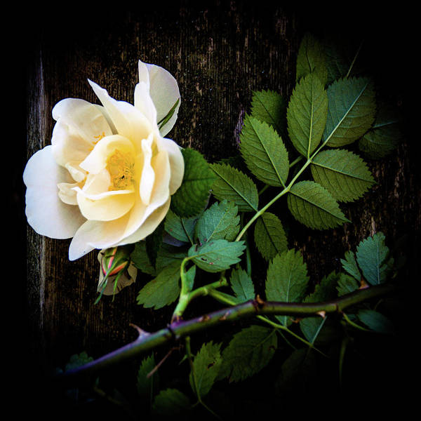 Photograph - Climbing Yellow Rose 2 by Julie Palencia