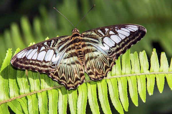 Photograph - Clipper Butterfly 6393-040619 by Tam Ryan