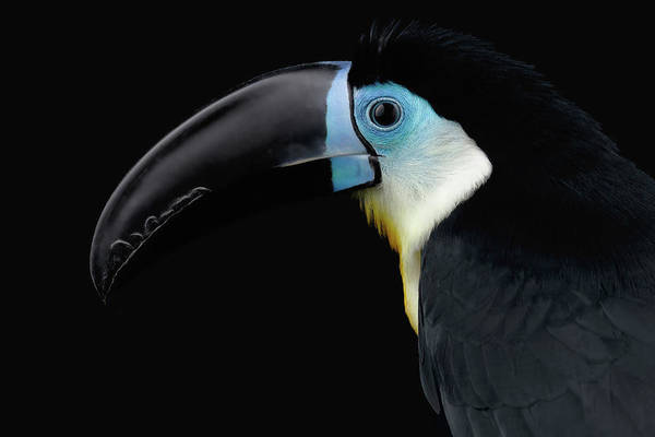 Photograph - Close-up Channel-billed Toucan, Ramphastos Vitellinus, Isolated On Black by Sergey Taran