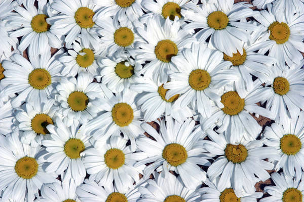 Symbolism Photograph - Close Up Field Of White And Yellow by Clu