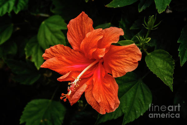 Wall Art - Photograph - Close Up Hibiscus by Robert Bales