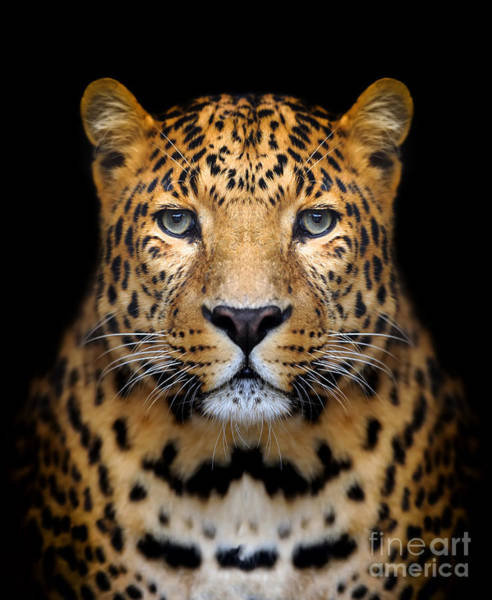 Big Cat Wall Art - Photograph - Close-up Leopard Portrait On Dark by Volodymyr Burdiak