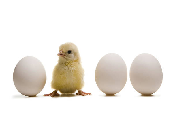 Wall Art - Photograph - Close-up Of A Baby Chick With Three Eggs by Rubberball