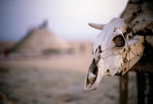 Tunisia Wall Art - Photograph - Close-up Of A Cow Skull, Tunisia by Hans Neleman