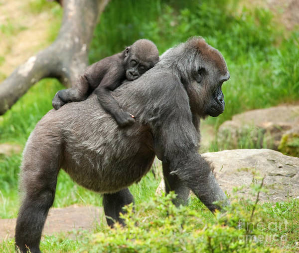 Wall Art - Photograph - Close-up Of A Cute Baby Gorilla And by Eric Gevaert