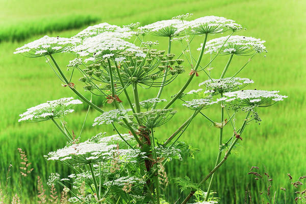 Wall Art - Photograph - Close-up Of A Giant Hogweed Growing In by Lucentius