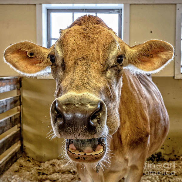 Wall Art - Photograph - Close Up Of A Jersey Dairy Cow by Edward Fielding