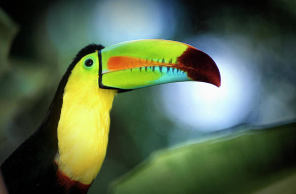 Toucan Photograph - Close Up Of A Keel Billed Toucan by Mike Hill