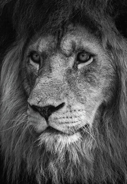 Photograph - Close Up Of A Lion King by Tazi Brown