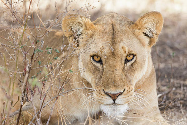 Photograph - Close Up Of A Lioness by Claudia Uribe