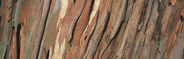 Wall Art - Photograph - Close-up Of A Tree Bark, Eucalyptus by Panoramic Images