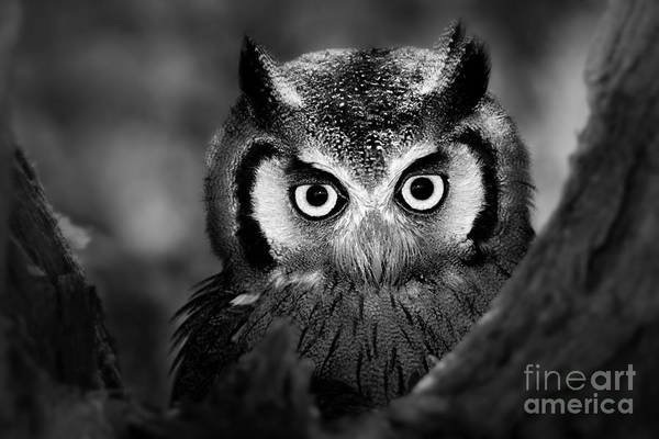 Wall Art - Photograph - Close-up Of A Whitefaced Owl Artistic by Johan Swanepoel