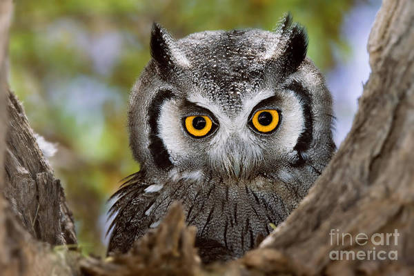 Hiding Photograph - Close-up Of A Whitefaced Owl Otus by Johan Swanepoel