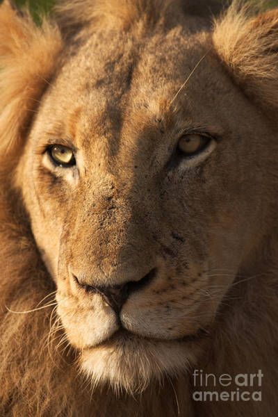 Big Cat Wall Art - Photograph - Close-up Of A Young Male Lion Panthera by Johan Swanepoel