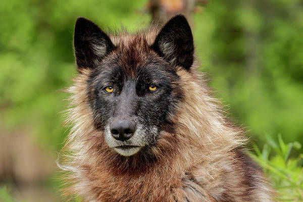 Wall Art - Photograph - Close-up Of Adult Male Gray Wolf, Canis by Adam Jones