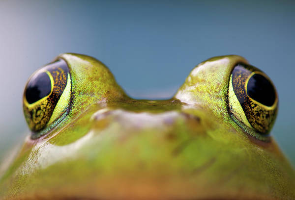 Bullfrog Photograph - Close-up Of American Bullfrog Eyes by Nick Harris Photography
