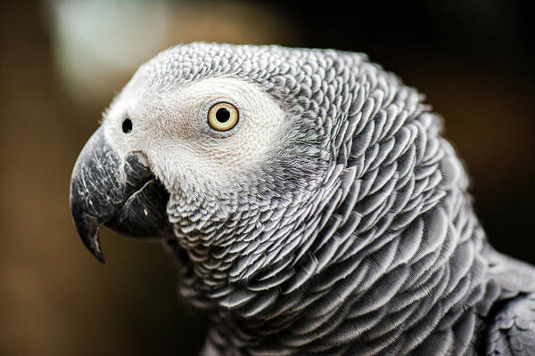 Photograph - Close Up Of An African Grey Parrot by Rob D Imagery