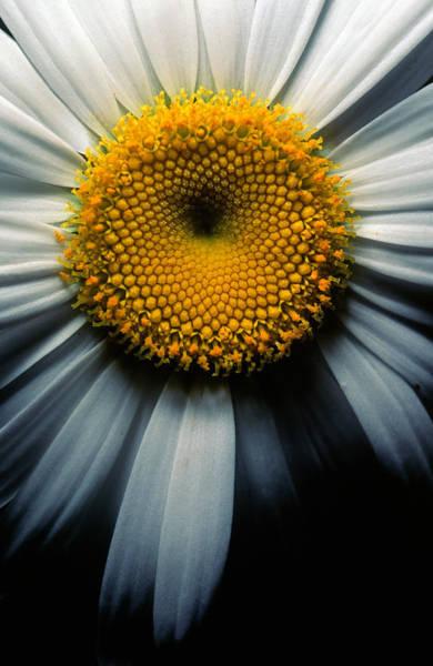 Daisy Photograph - Close-up Of An Ox-eye Daisy by Robas