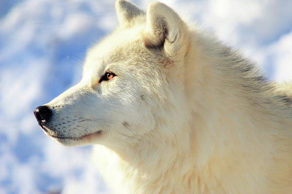 Arctic Wolves Photograph - Close Up Of Arctic Wolf by David R. Tyner