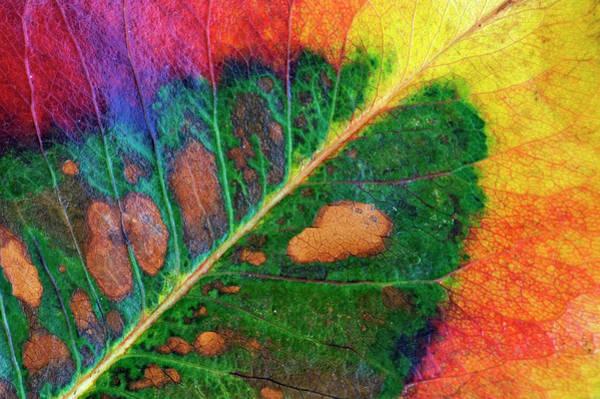 Hardwood Photograph - Close-up Of Autumn Leaf Revealing Green by Johann  Schumacher